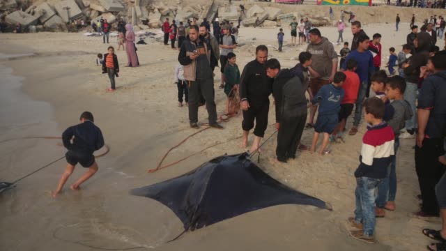 palestinian fishermen pull out a catch of stingrays onto a beach overlooking the mediterranean sea in gaza city on april 6 2017 hamas allowed... - fischer stock-videos und b-roll-filmmaterial