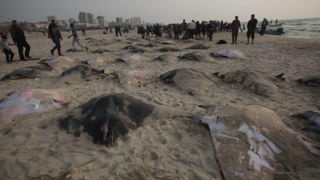 vídeos y material grabado en eventos de stock de palestinian fishermen pull out a catch of stingrays onto a beach overlooking the mediterranean sea in gaza city on april 6 2017 hamas allowed... - un día en la vida