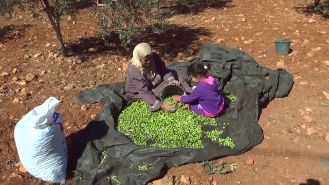 palestinians harvest olives in the village of qasra near the west bank city of nablus on october 18 2016 farmer fewaz hassan agriculture benefits... - harvesting stock videos and b-roll footage