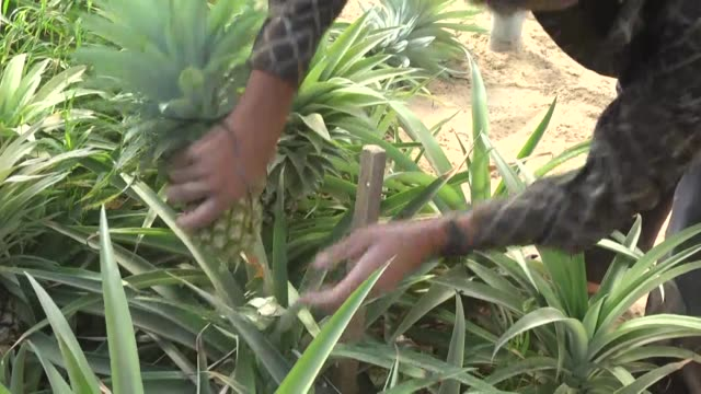 palestinians pick pineapples during a harvest at a farm in khan yunis in the southern gaza strip on november 09 2017 this is the first time in the... - pineapple stock videos and b-roll footage