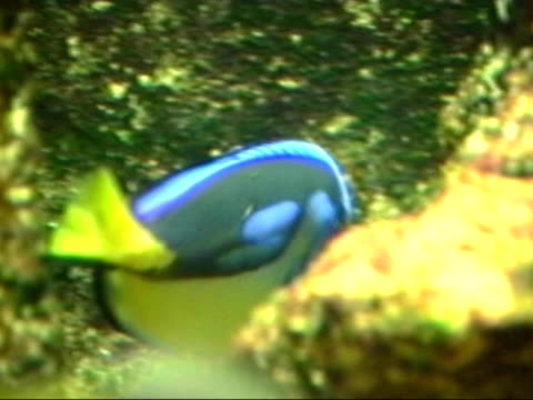 palette surgeonfish - paracanthurus hepatus - john dory fish stock videos & royalty-free footage