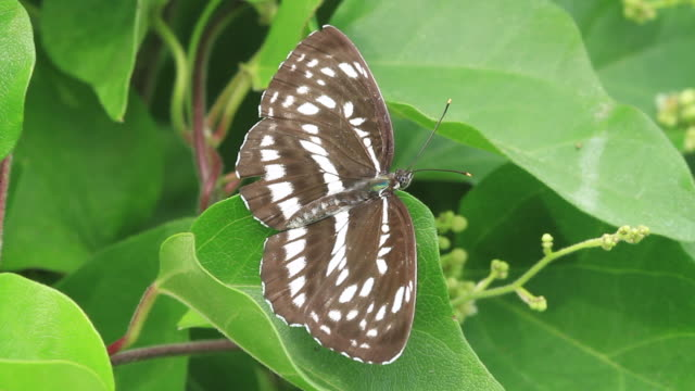 pallas's sailer butterfly (neptis sappho) - gliedmaßen körperteile stock-videos und b-roll-filmmaterial