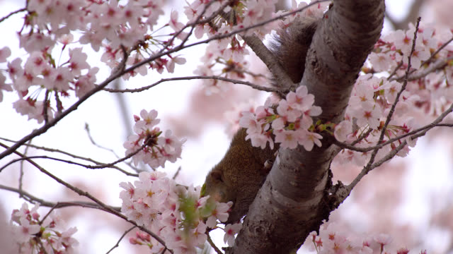 pallas's squirrel enjoying cherry blossom in japan - 4k - squirrel stock videos and b-roll footage