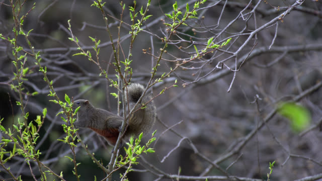 pallas's squirrel (callosciurus erythraeus) - wildlife in japan - 4k - hamamatsu stock videos and b-roll footage