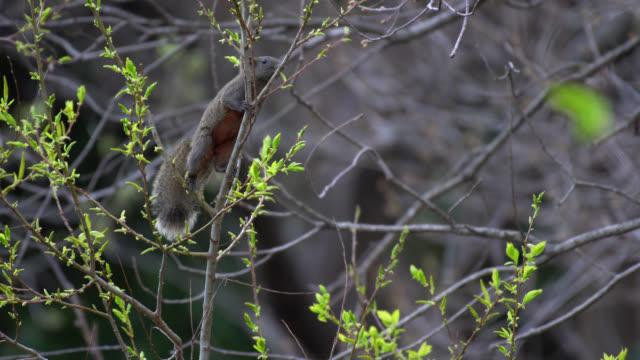 pallas's squirrel (callosciurus erythraeus) - wildlife in japan - 4k - natural condition stock videos & royalty-free footage