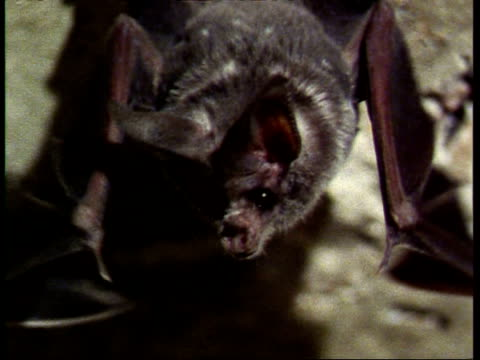 cu pallid bat, antrozous pallidus, flapping wings, hanging from ceiling, usa - hanging stock videos & royalty-free footage