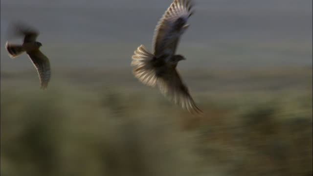 Pallid harrier mobs buzzard over bushes, Kalamaili Nature Reserve, Xinjiang, China