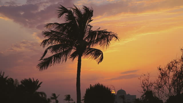 palm date tree at sunset blows in wind in silhouette - palme stock-videos und b-roll-filmmaterial