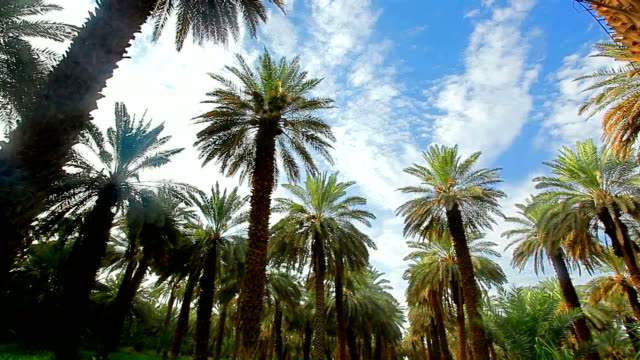 palm farm - saudi arabia stock videos and b-roll footage