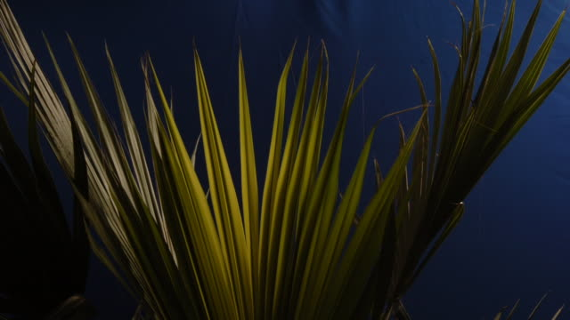a palm frond spreads in front of a blue screen. available in hd. - frond stock videos & royalty-free footage
