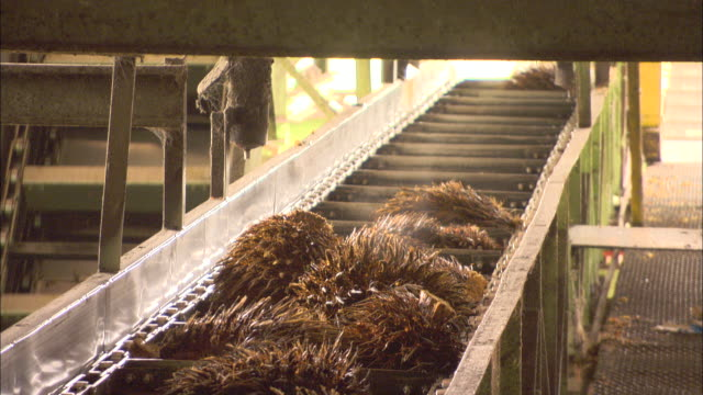 palm fruits move along a conveyor belt at a processing plant in malaysia. - conveyor belt stock videos & royalty-free footage