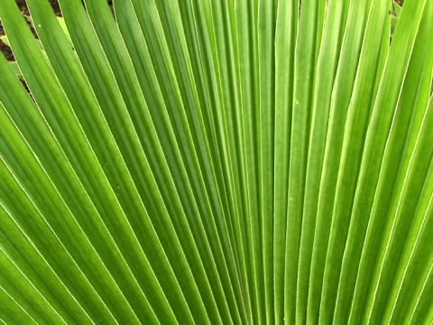 stockvideo's en b-roll-footage met ecu, zi palm leaf, the big island, hawaii, usa - waaierpalm