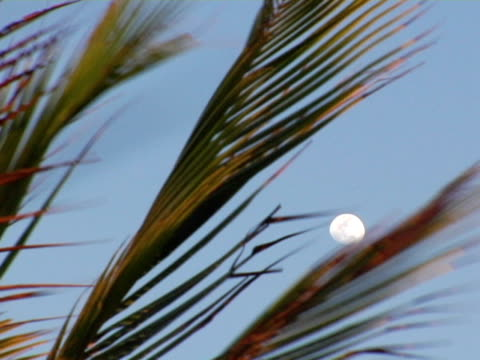 cu, palm leaves against sky with white full moon, jericoacoara, brazil - fan palm tree stock videos & royalty-free footage