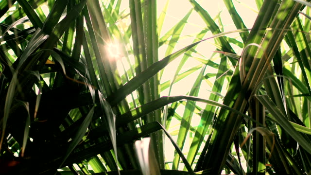 palm leaves with sun shining through and lens flares - palm leaf stock videos & royalty-free footage