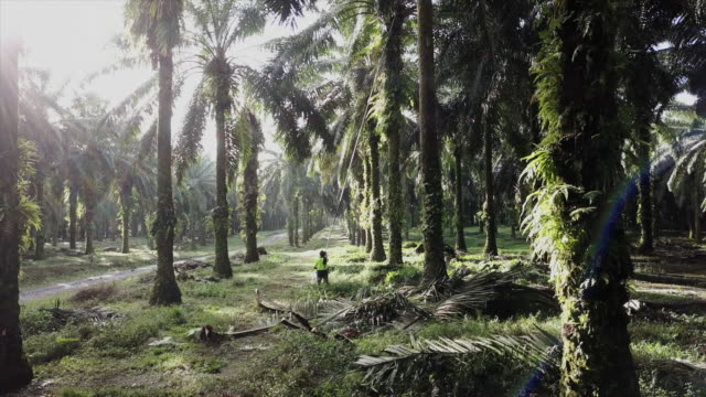 palm oil fruit being cut from a tree by a worker in papua new guinea - palm tree stock videos & royalty-free footage