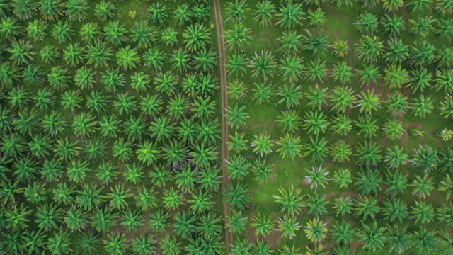 palm oil plantation in aerial view - palm leaf stock videos & royalty-free footage