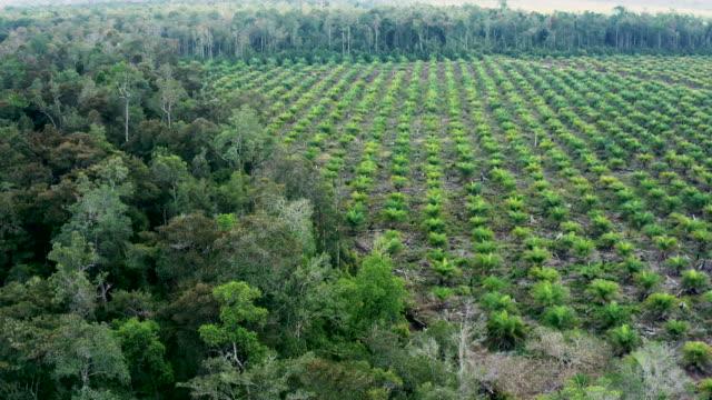 vidéos et rushes de plantation d'huile de palme dans l'île de bornéo en indonésie - destruction