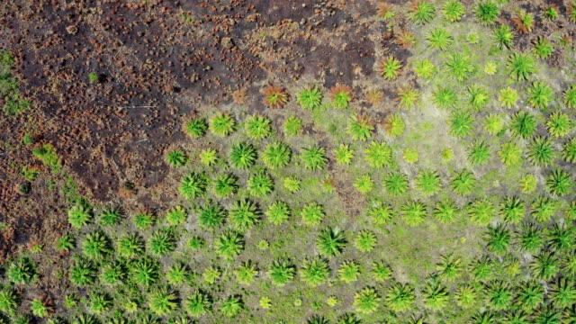 インドネシアのボルネオ島のパーム油プランテーション - ボルネオ島点の映像素材/bロール