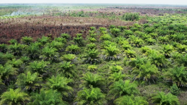 palm oil plantation in the island of borneo in indonesia - burning stock videos & royalty-free footage