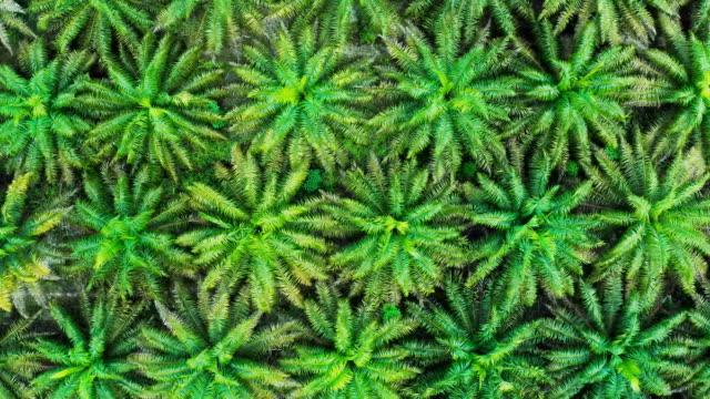 palmölplantage auf der insel borneo in indonesien - tropischer regenwald stock-videos und b-roll-filmmaterial
