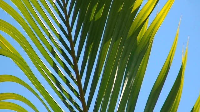 HD-Palm schwanken im Wind loop