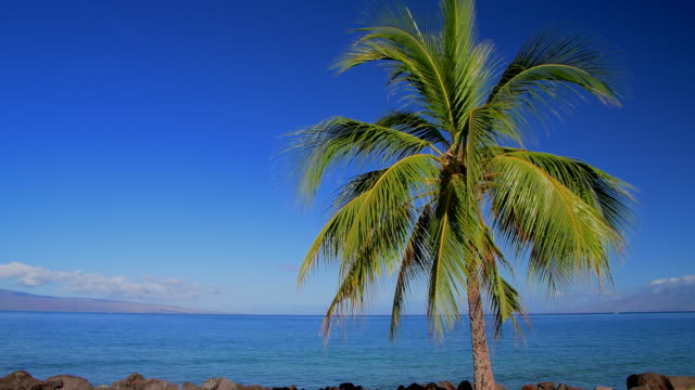 palm tree and the ocean - maui stock videos & royalty-free footage