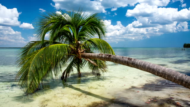 palm tree at tropical beach - cuba - tropical tree stock videos & royalty-free footage