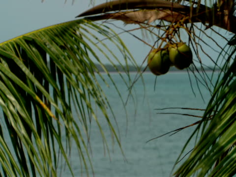 stockvideo's en b-roll-footage met cu,  palm tree branch with coconuts in breeze,  harbour island,  bahamas - waaierpalm