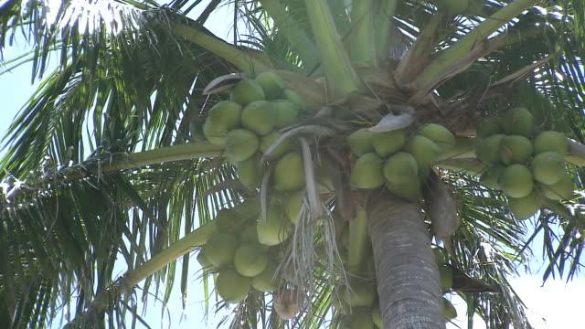 palm tree, ogasawara islands, japan - ヤシ点の映像素材/bロール