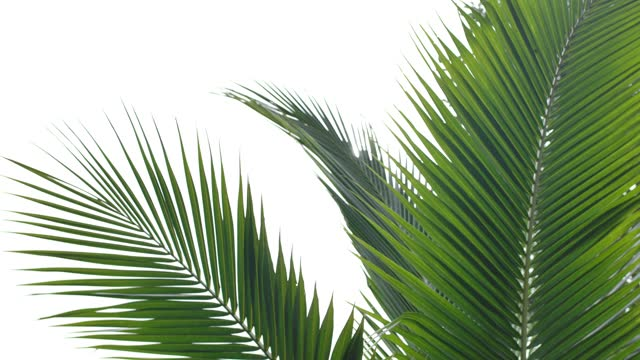 palm tree or coconut leaf tops on white background. - palm leaf stock videos & royalty-free footage