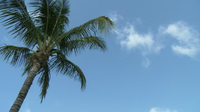 vídeos y material grabado en eventos de stock de ms, la, palm tree top against blue sky, abaco islands, bahamas - palmera abanico