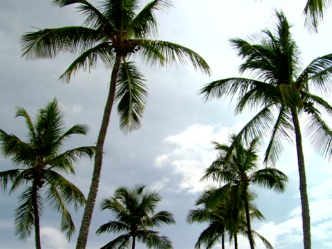 stockvideo's en b-roll-footage met ms,  la,  palm tree tops,  harbour island,  bahamas - waaierpalm