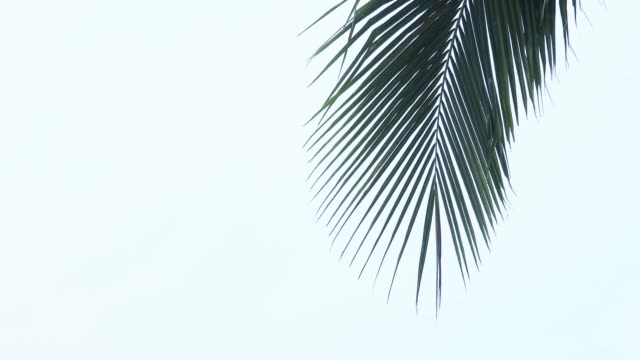 palm tree tops - palm tree stock videos & royalty-free footage