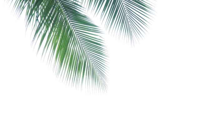palm tree tops - leaf stock videos & royalty-free footage