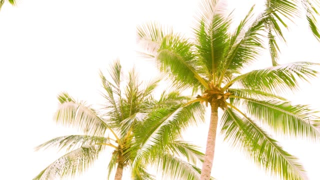vídeos de stock e filmes b-roll de palm tree tops - folha de palmeira