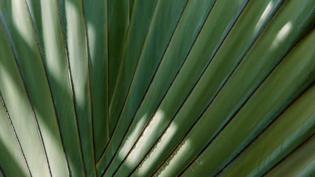 Palma Tree