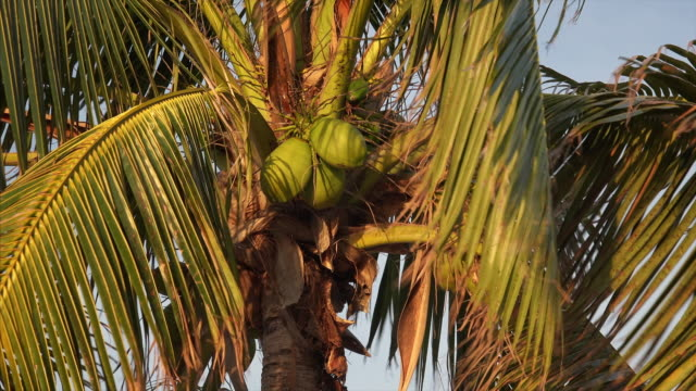 A palm tree with green coconuts blowing in the wind in the Florida Keys