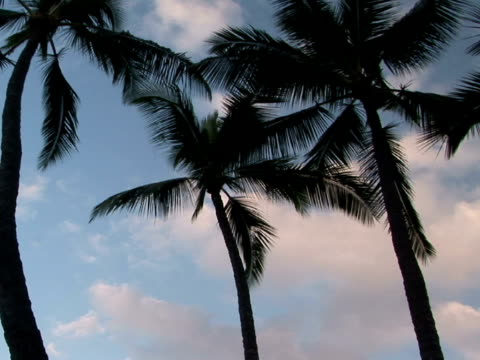 la palm trees against sky, the big island, hawaii, usa - fan palm tree stock videos & royalty-free footage