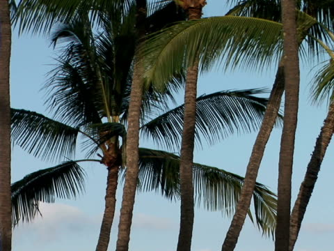 stockvideo's en b-roll-footage met zo palm trees against sky, the big island, hawaii, usa - waaierpalm