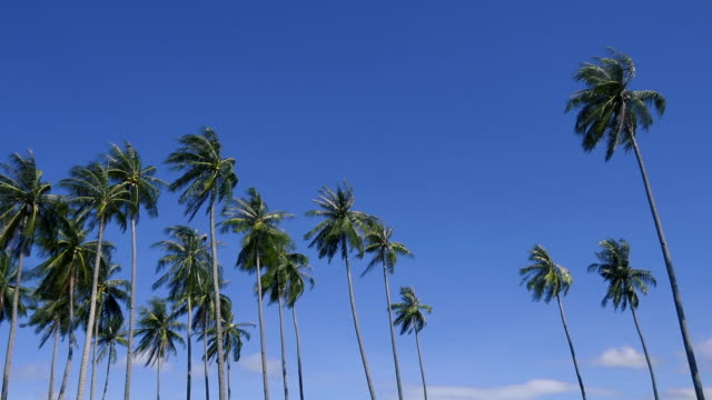 vídeos de stock e filmes b-roll de ws:palm trees and blue sky on tropical island - oscilar