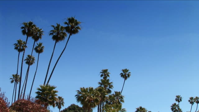 palm trees barely sway under a still summer blue sky. - fan palm tree stock videos & royalty-free footage