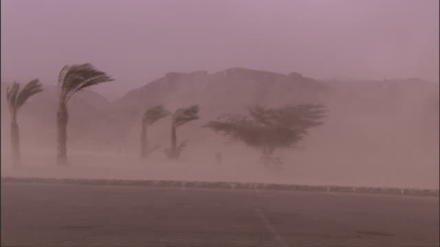 Palm trees bend in the winds of a sandstorm. Available in HD