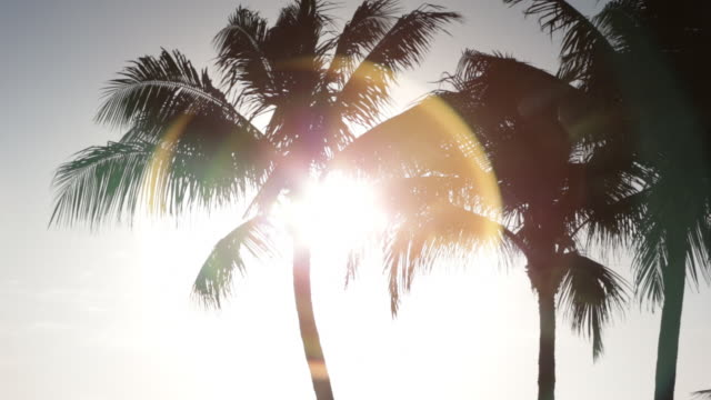 Palm trees blowing in the sunlight in early morning