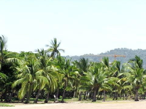 vidéos et rushes de palmiers dans le vent (pal) souffle - arbre tropical