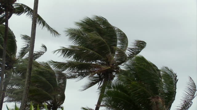 ms, palm trees blowing in wind, moorea island, tahiti, french polynesia - tropical storm stock videos & royalty-free footage