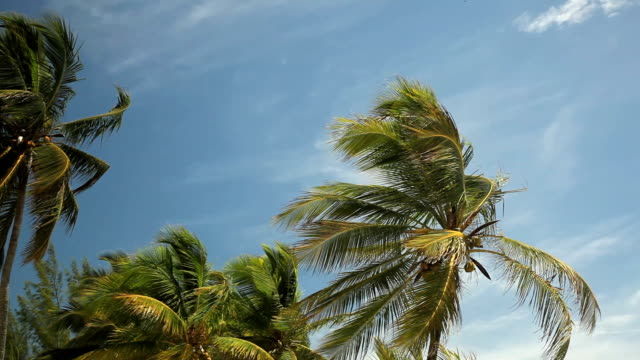 MS Palm trees blowing on wind against sky / Nassau, New Providence, Bahamas