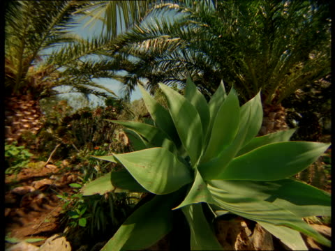 vidéos et rushes de palm trees, flowers and cacti fill a tropical garden. - cactus