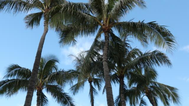 vídeos de stock, filmes e b-roll de palmeiras no havaí - cultura do havaí