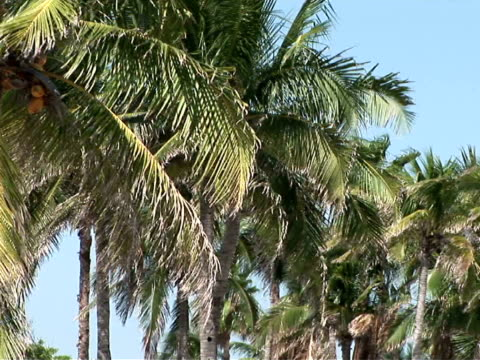 stockvideo's en b-roll-footage met ms, palm trees moving in wind - waaierpalm