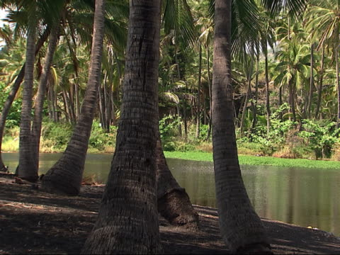 Palm trees next to a pond.